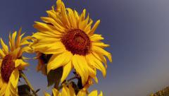 Large Sunflowers With a Bee Stock Footage