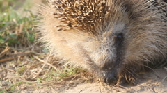 Hedgehog a wild animal close up goes leaves Stock Footage