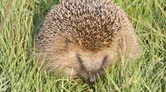 Wild animal  hedgehog on  grass close up Stock Footage