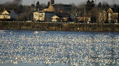 Snow geese gathering on a river for their migration south on an early winter day Stock Footage