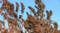 Dry grass on the wind over blue sky background Stock Footage