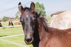 horse foal colt stud farm - stock photo