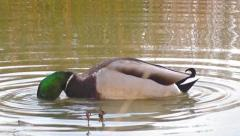 Duck feeding with its head in the water Stock Footage
