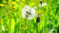 Close up view at dandelion and two bugs Stock Footage