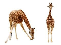 Giraffe isolated on white background  Clipping path included Stock Photos