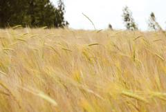 golden wheat field in summer - stock photo