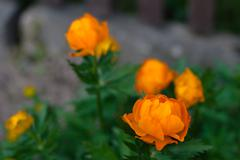 Orange flowers Trollius Asiaticus  shallow DOF - stock photo
