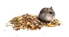 Djungarian hamster eating Stock Photos