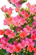 aubrieta. beautiful flower on light background - stock photo