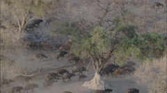 Wildlife Migration Herd Buffalo Trees Stock Footage