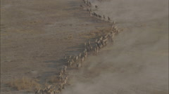 Herd Zebras Desert Africa Stock Footage