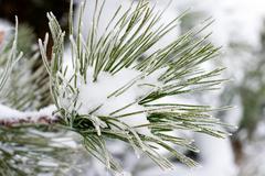 Christmas evergreen spruce tree with fresh snow Stock Photos