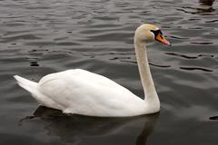 white swan swimming - stock photo