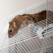 Brown rat Stock Photos