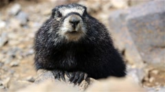 A hoary marmot (Marmota caligata)  on stones Stock Footage