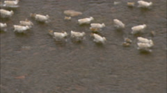 Tundra Caribou Crossing River Stock Footage