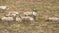 Tundra Group Caribou - stock footage