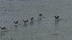 Marsh Lechwe Antelope Grazing Stock Footage