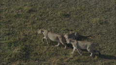 Lioness Pack Roaming - stock footage