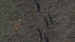 Wildebeest Running Migration Stock Footage