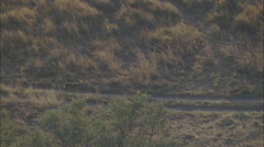 African Wild Dogs Forest Safari Stock Footage