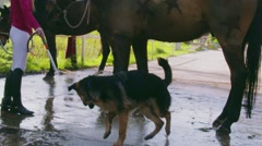 Slow Motion Girl Toying With Dog While Cleaning Horse Stock Footage