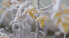Yellow bush frozen leaves in winter day, pan movement Stock Footage