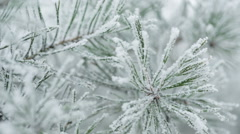 pine branches covered with hoar frost shoot in raw, pan movement - stock footage