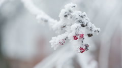 rowanberries covered with hoarfrost and snow still, shoot in raw - stock footage
