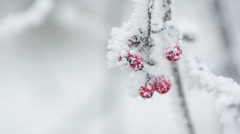 rowanberries covered with hoarfrost and snow handheld shot - stock footage