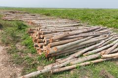 Eucalyptus tree, pile of wood logs ready for industry Kuvituskuvat