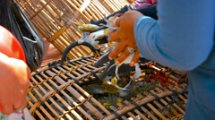 Fresh catch of live crabs from a trap in cambodia Stock Footage