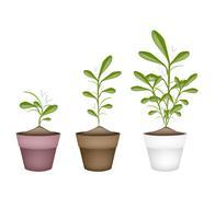 Lovely Green Mistletoe in Ceramic Flower Pots Stock Illustration