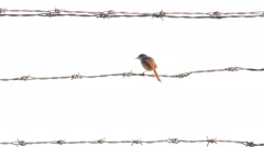 Bird sitting on barbed wire Stock Footage