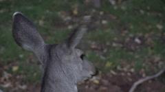 4K Big Deer Ears Close Up Stock Footage
