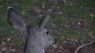 Stock Video Footage of 4K Big Deer Ears Close Up