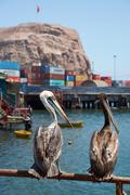 Peruvian Pelicans in Arica Stock Photos