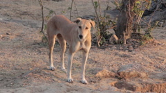 The dog on the street of Indian town Stock Footage