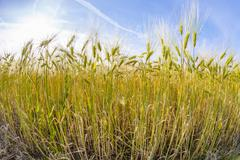 Spica of wheat in corn field Stock Photos