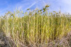 spica of wheat in corn field - stock photo