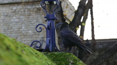 Tower of London raven on wall Stock Footage