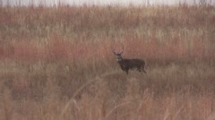 Big Whitetail Buck Stock Footage