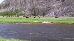 141205f herd of buffalo across a river in yellowstone Stock Footage
