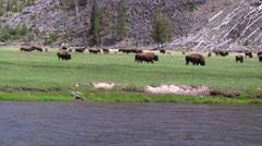 141205g herd of buffalo across a river - stock footage