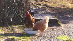 Rooster and hen in the farmyard - stock footage