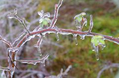 Branches and leaves frozen. - stock photo
