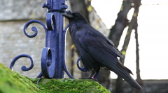 Tower of London raven Stock Footage