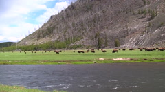 141205j herd of bison across river in yellowstone Stock Footage
