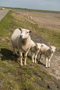 Sheep on the dyke of the island Terschelling in the Netherlands - stock photo