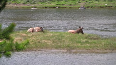 141205m bull elk resting by a river in yellowstone - stock footage